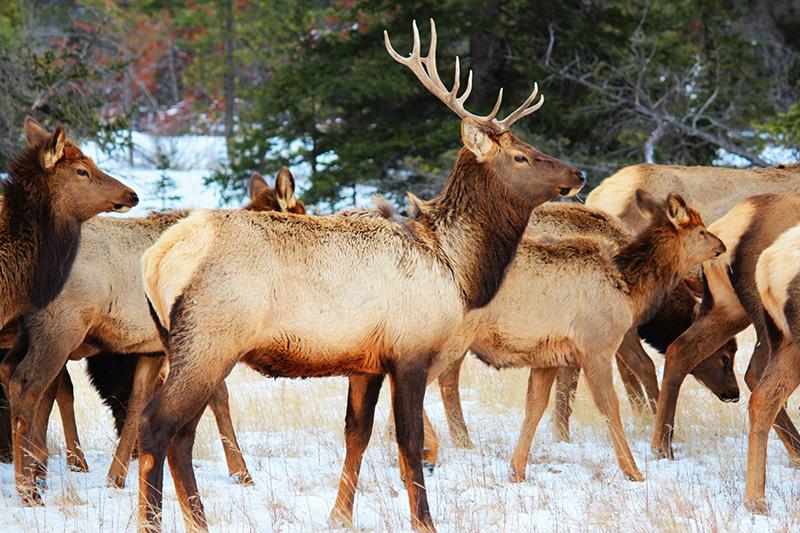 Passeio com animais selvagens em Jasper