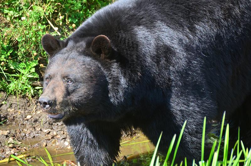 Observação de ursos no Parc Oméga em Montreal