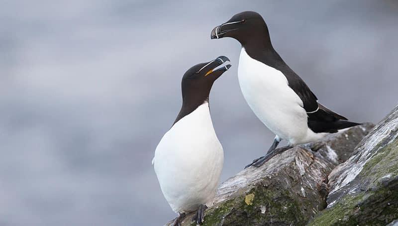 Cruzeiro de observação de pinguins em Quebec