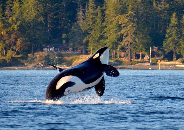 Excursão de observação de baleias em Vancouver